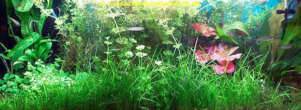 Aquaristik Aquarienpflanzen