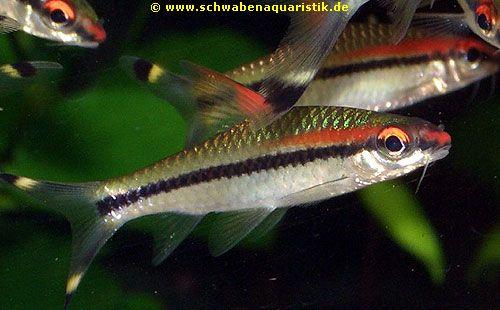 Aquaristik bilder barben b rblinge for Teichfische arten