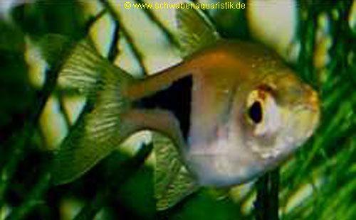 welche aquarium fische passen zusammen