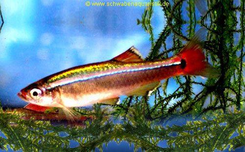 Zierfische barben b rblinge bei schwaben aquaristik for Lebendfutter zierfische