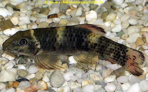 Aquaristik foto prachtalgenfresser garra flavatra for Was fressen teichfische
