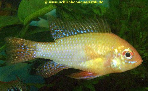 Aquaristik foto schmetterlingsbuntbarsch gold for Teichfische arten