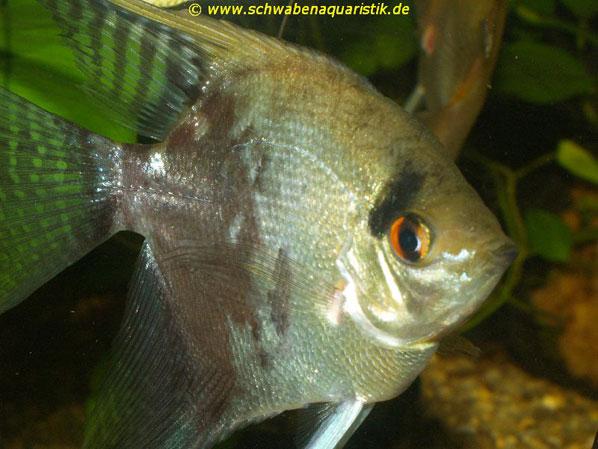 Fischfutter diskus skalare bei schwaben aquaristik for Schwarzer skalar