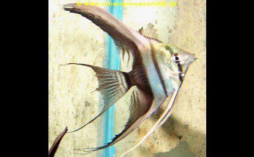 Forum diskus skalare bei schwaben aquaristik for Skalar futter