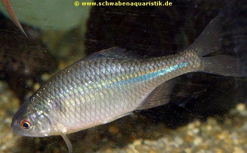 Zierfische bilder goldfische teichfische for Teichfische shubunkin