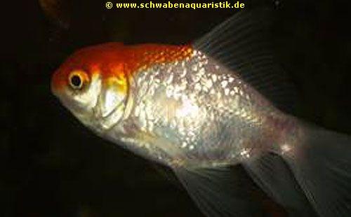 Aquaristik goldfische teichfische bei schwaben aquaristik for Goldfische gartenteich