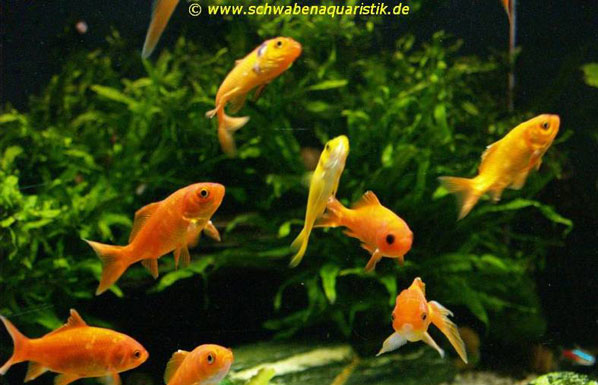 Goldfische im teich cool comet goldfish the most kept for Goldfische im gartenteich