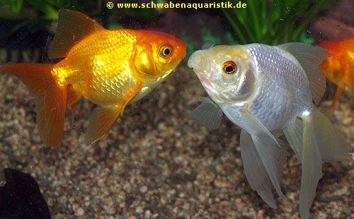 Teich zubeh r bilder goldfische teichfische for Teichfische bilder
