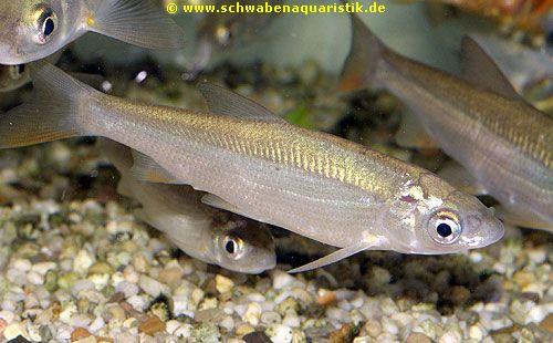 Aquaristik bilder goldfische teichfische for Kleine teichfische