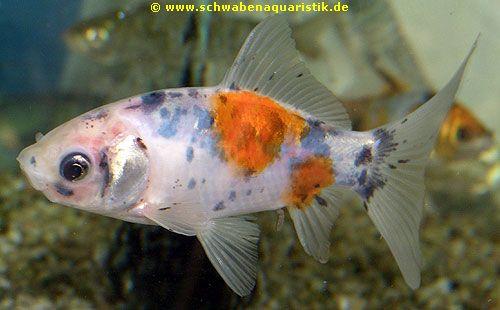 Aquaristik bilder goldfische teichfische for Teichfische shubunkin