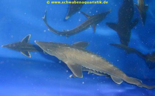 Aquarien zubeh r bilder goldfische teichfische for Teichfische shubunkin
