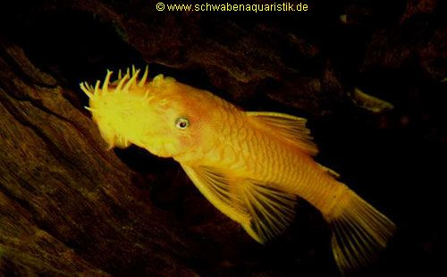 Aquaristik bilder harnischwels for Welse teichfische