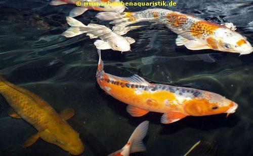 Aquaristik fachhandel f r zierfische koi kleintiere for Muscheln im gartenteich