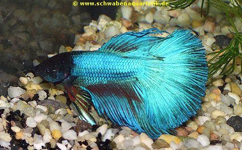 AquarienZubehrFoto Halbmond Kampffisch blau  Betta splendens