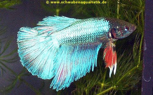 Forum foto halbmond kampffisch blaurot betta splendens for Kampffisch betta