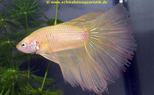 AquarienZubehrFoto Halbmond Kampffisch gelb  Betta splendens