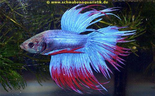 AquaristikFoto Kronenschwanz Kampffisch  Betta splendens crowntail