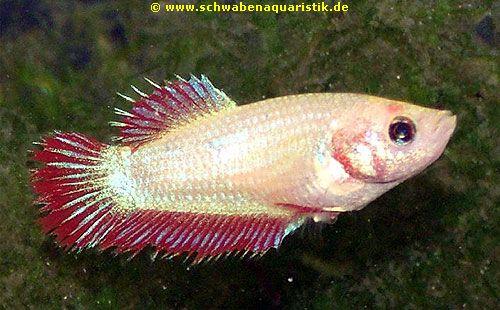 Aquarien zubeh r foto kronenschwanz kampffisch weibchen for Kampffisch betta