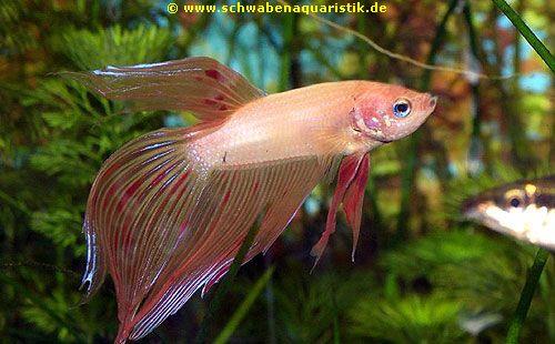Aquarien zubeh r foto siamesischer kampffisch betta for Kampffisch betta