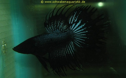 Forum bilder labyrinthfische for Siamesischer kampffisch