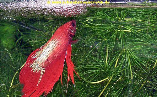 Aquarien zubeh r bilder labyrinthfische for Siamesischer kampffisch