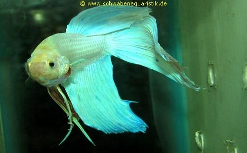 Aquaristik bilder labyrinthfische for Siamesischer kampffisch