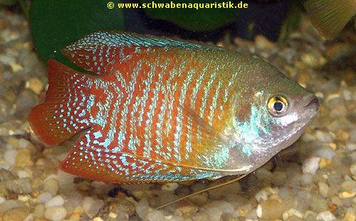 Aquaristik labyrinthfische anabantoidei bei schwaben for Siamesischer kampffisch haltung