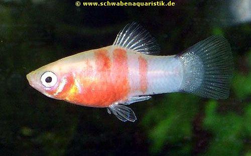Aquaristik bilder guppy platy molly co for Teichfische arten