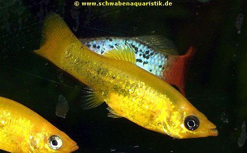 Mein erster aquaristik versuch goldfische aquarium forum for Goldfisch rassen