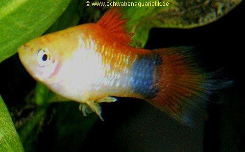 Zierfische guppy platy molly co bei schwaben aquaristik for Lebendfutter zierfische