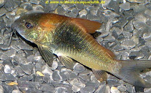 Zierfische corydoras venezuelanu orange orange venezuela for Teichfische arten