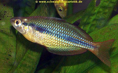 Aquaristik bilder regenbogenfische for Blaue teichfische