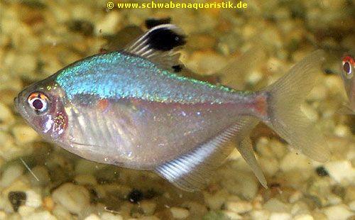 Aquaristik bilder salmler for Blaue teichfische