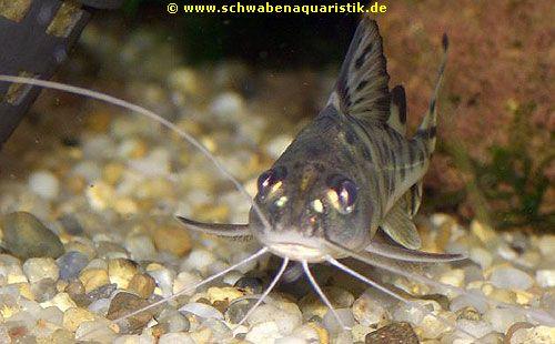 Aquaristik sonstige welse bei schwaben aquaristik for Lebendfutter zierfische