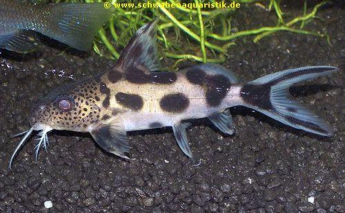 Aquaristik sonstige welse bei schwaben aquaristik for Robuste zierfische