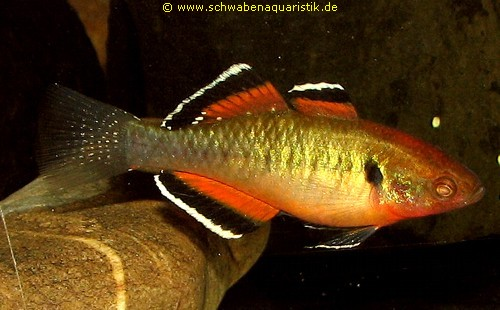 Aquarien zubeh r bilder sonstige zierfische for Zierfische teich