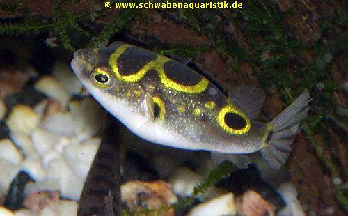 Aquaristik kugelfisch schl fer grundel asselkugelfisch for Kleine zierfische