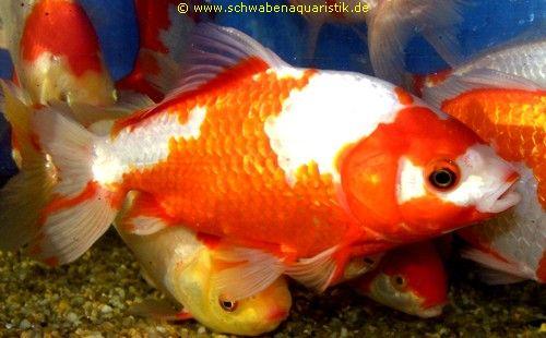 Zierfische wakin oder japanischer goldfisch for Goldfisch haltung im teich